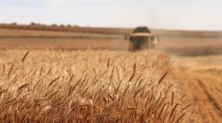 wheat field and combine harvester in background